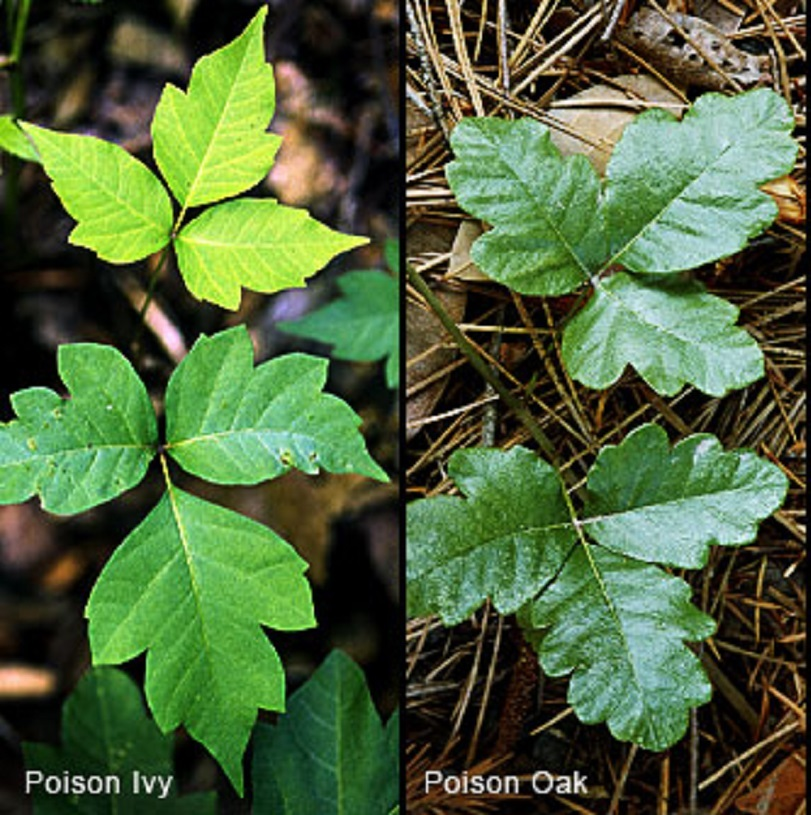 Poison Ivy and Poison Oak leaves